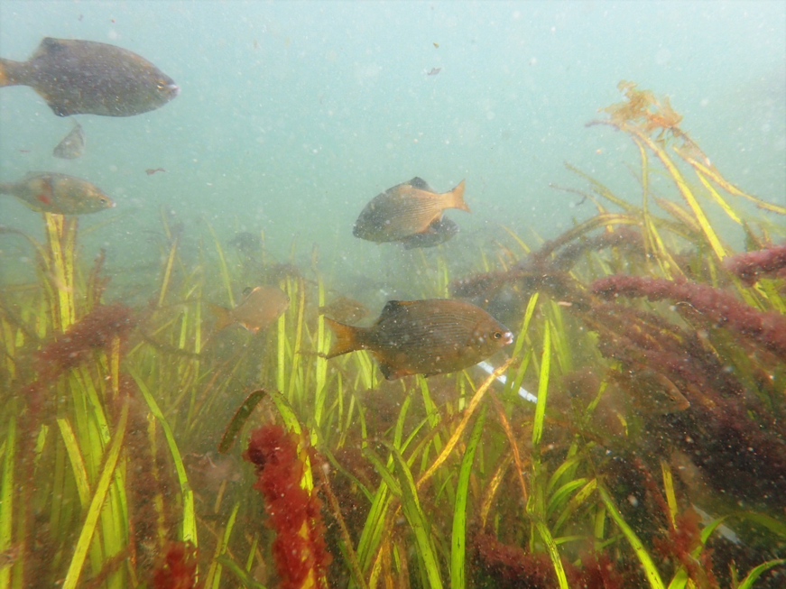 An underwater view of a seagrass meadow
