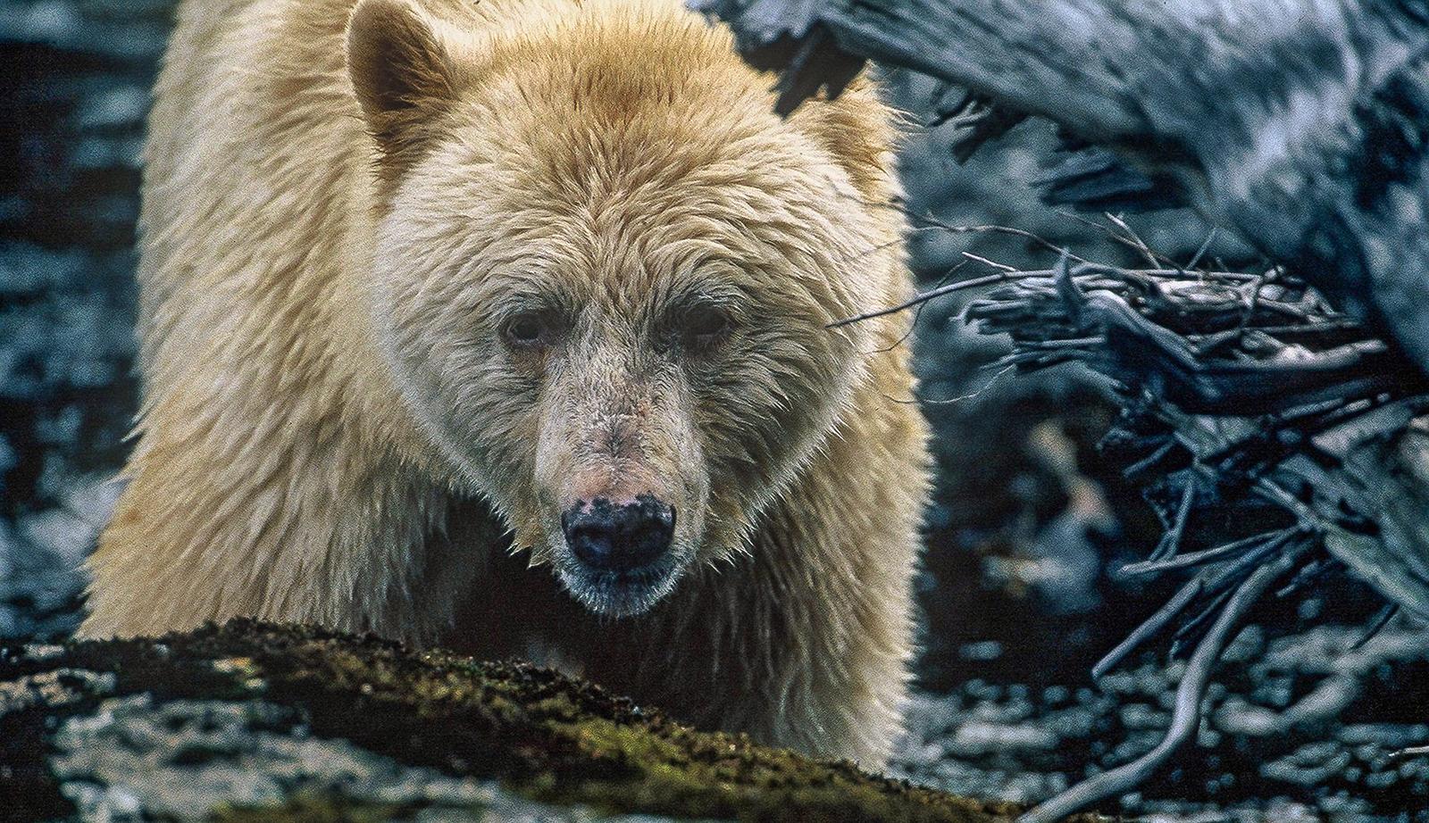 A spirit bear photographed in B.C.'s Great Bear Rainforest