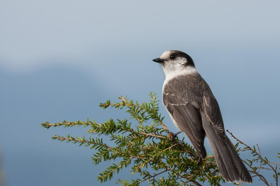 A gray jay in Western Canada's mountain forests