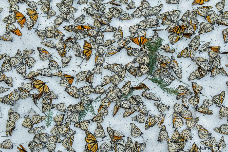 monarch butterflies covers the forest floor of El Rosario Butterfly Sanctuary in Michoacán Mexico