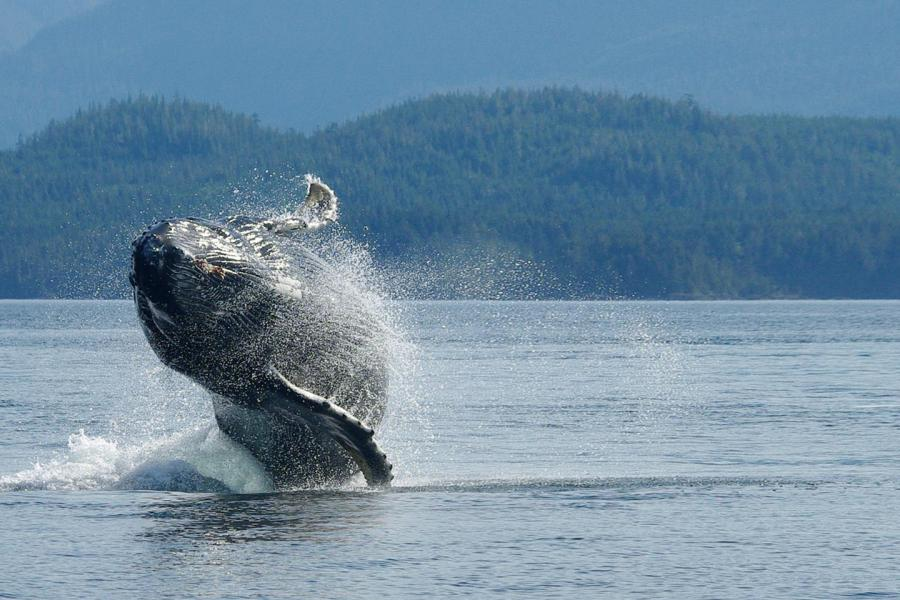 A humpback whale breaches in the Broughton Archipelago