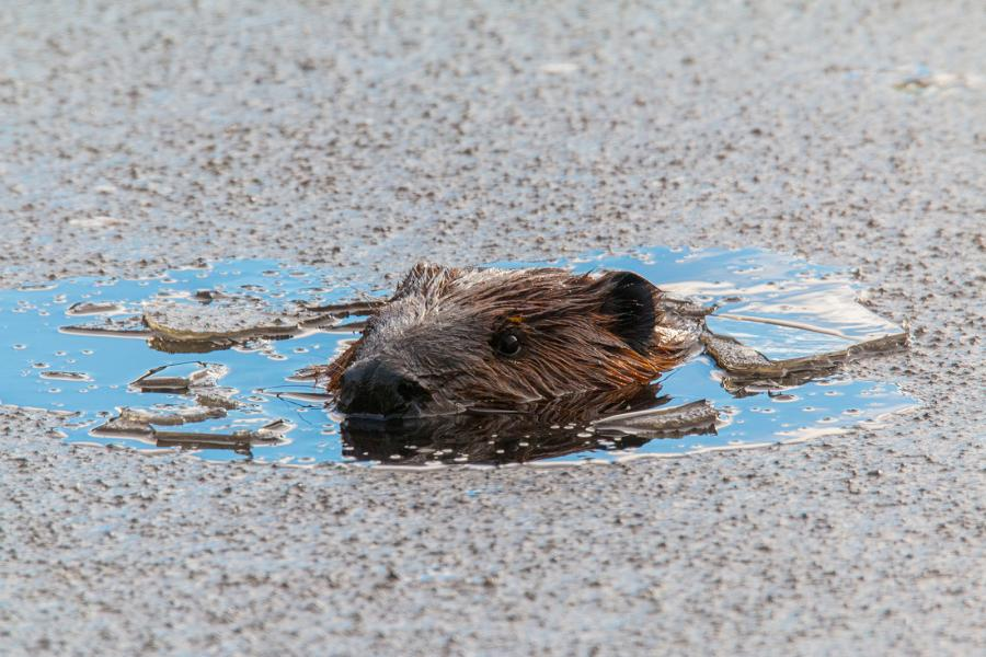 Beaver in thin ice