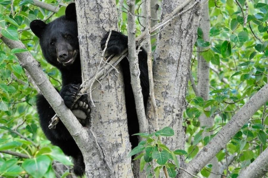 American black bear sitting in tree