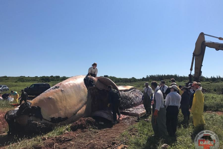 North Atlantic Right whale undergoes necropsy on shores of P.E.I