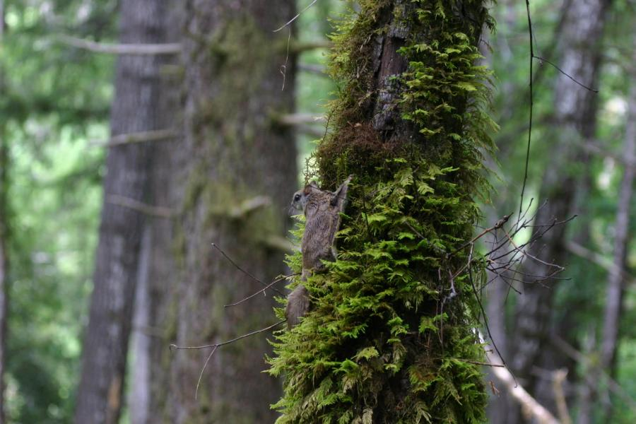Humboldt flying squirrel resting on tree
