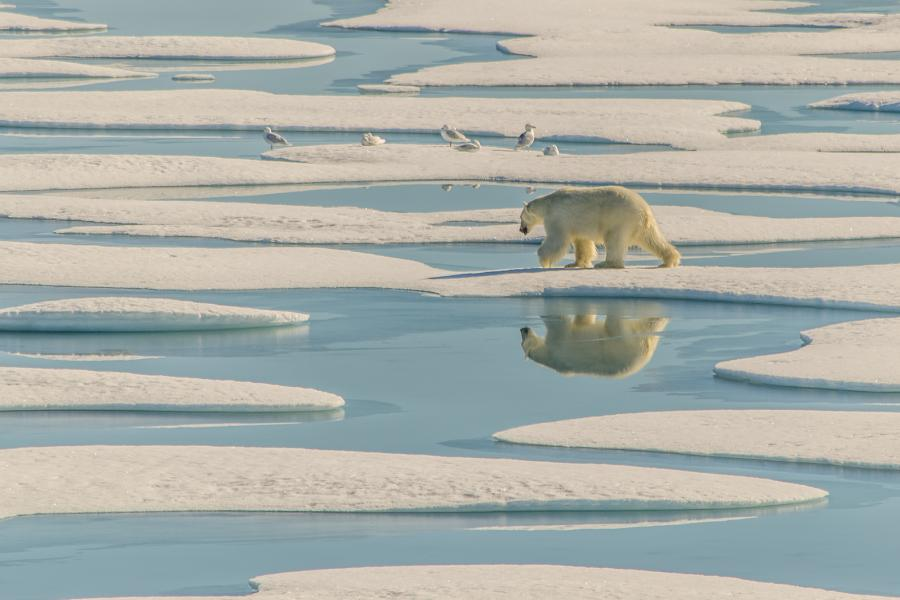 polar bear hunting in melt ponds
