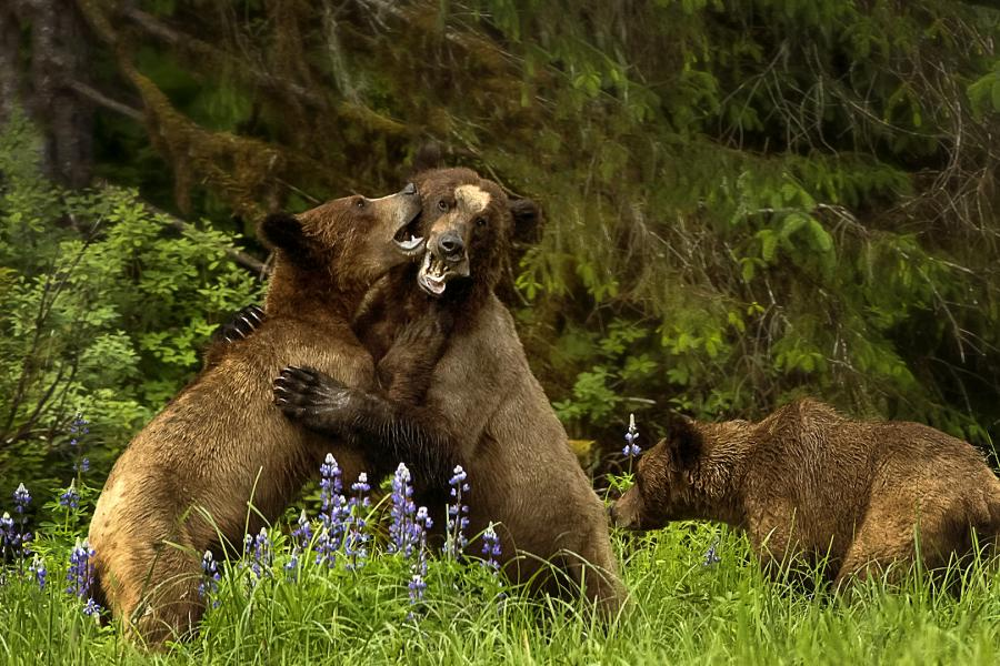 Grizzly bears, cubs, b.c.