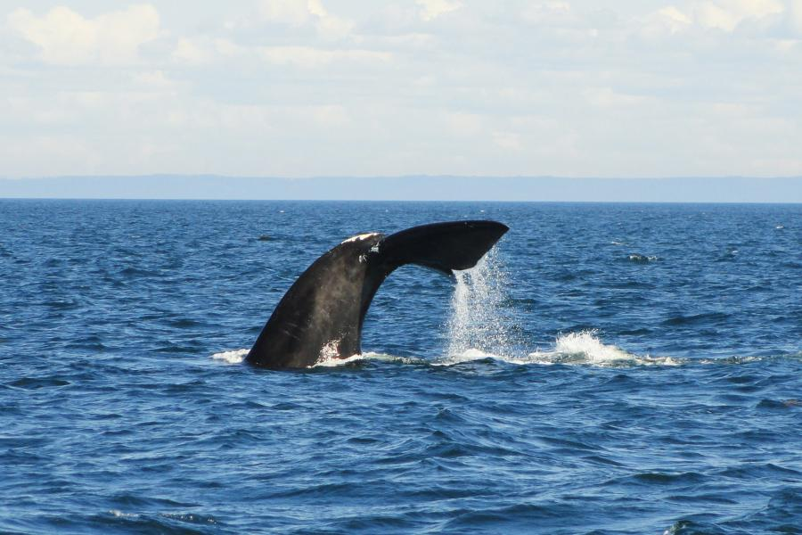 right whale bay of fundy