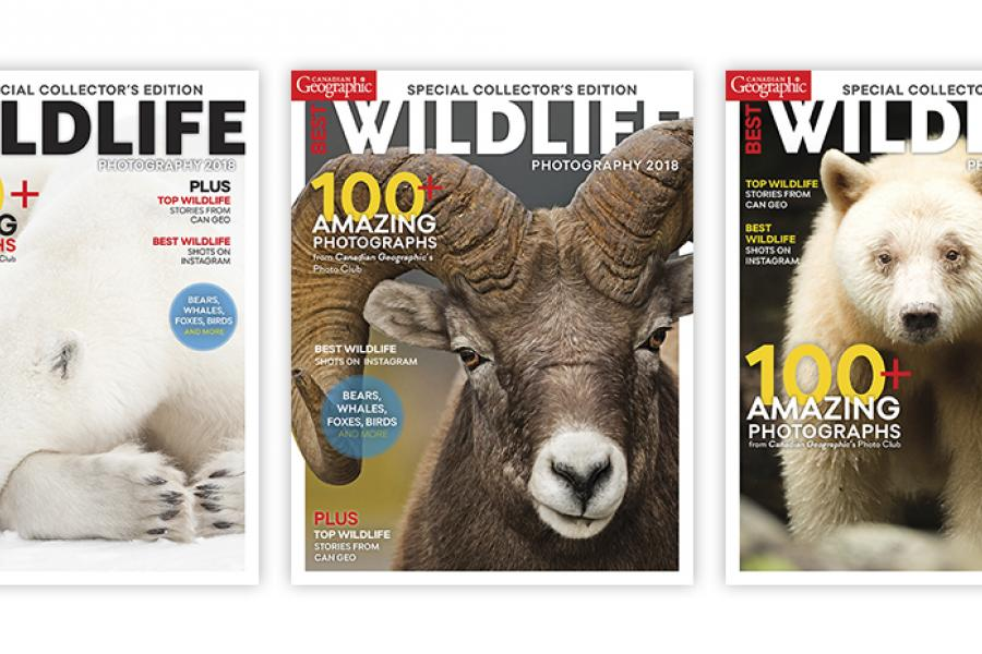 covers, magazine, wildlife, polar bear, bighorn sheep, spirit bear