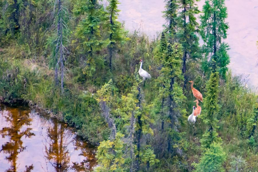 whooping crane twins and their parents