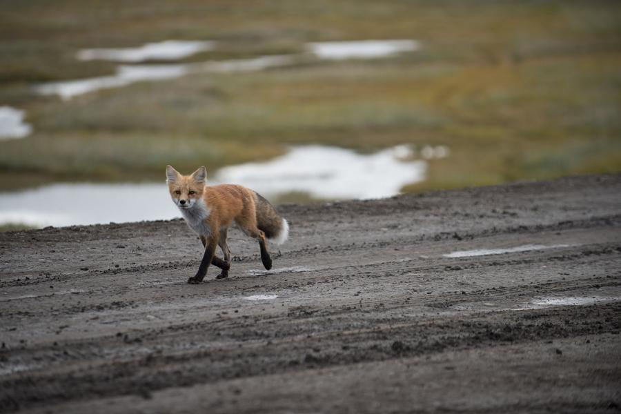 A fox walking on the newly constructed Mackenzie Valley Highway