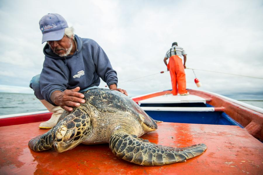 sea turtle, conservation, mexico, research, science, wildlife