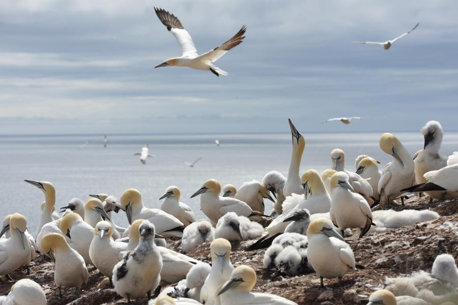Northern gannets in Gaspé