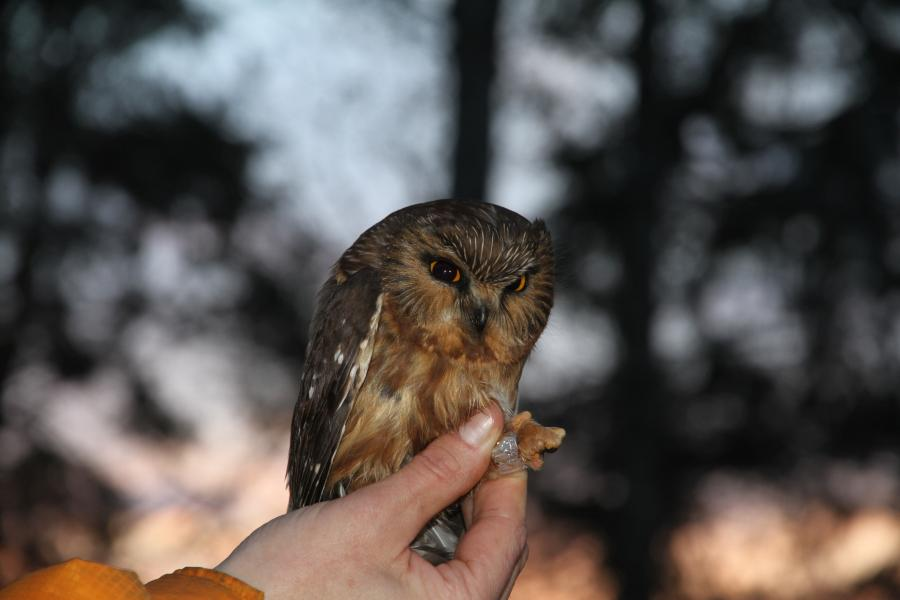 A radio transmitter is attached to a northern saw-whet owl (brooksi subspecies) near the community of Skidegate in Haida Gwaii, B.C., in 2010. The species is unique to the archipelago and was listed as threatened in the latest COSEWIC assessment of endangered wildlife.