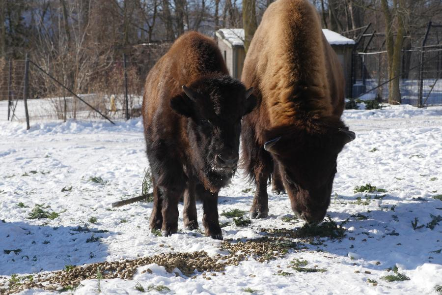 Wood bison graze at the Toronto Zoo