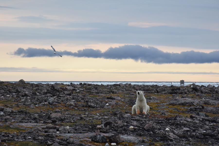 A polar bear on Mitivik Island