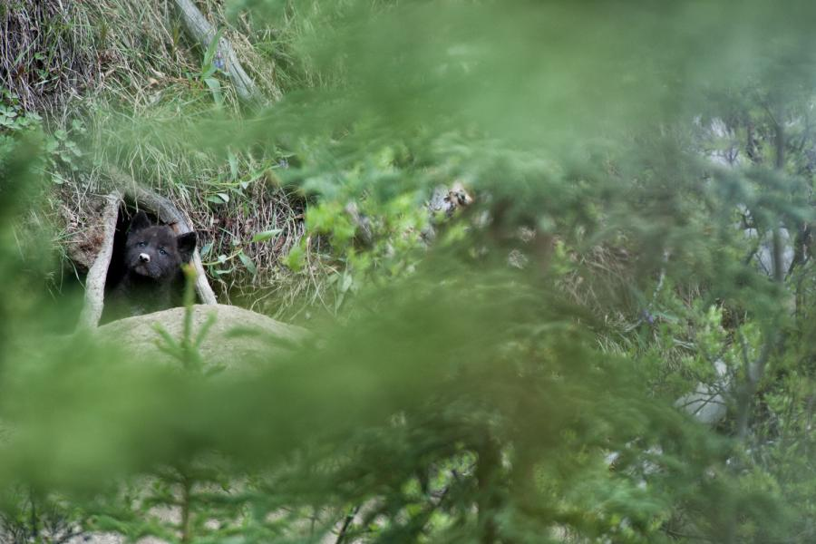 A wolf pup peers out from a den in the Yukon Territory