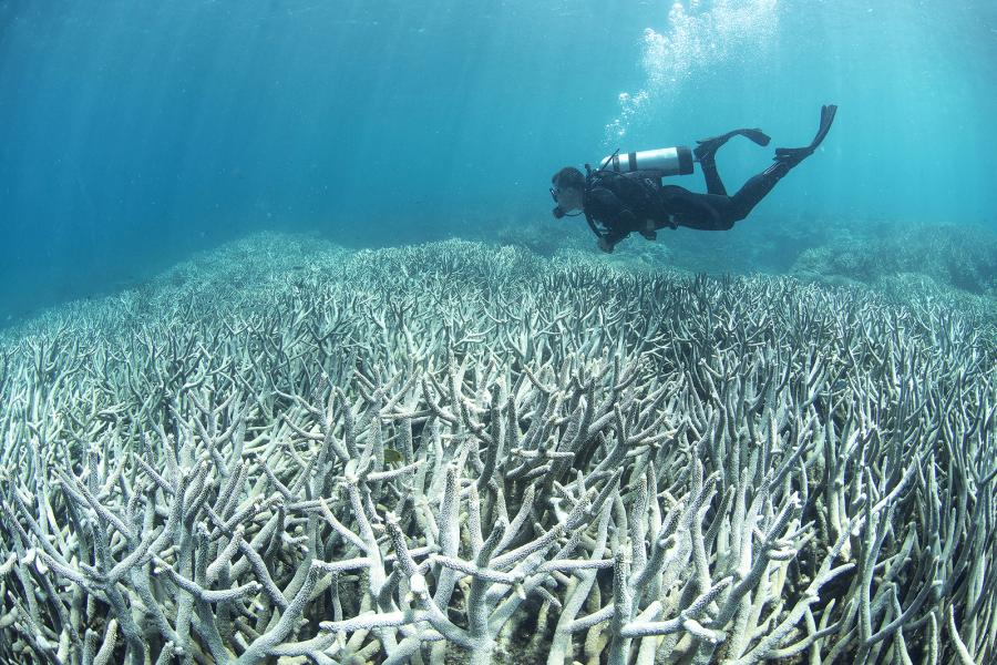 Coral bleaching at Heron Island in the Great Barrier Reef, February 2016