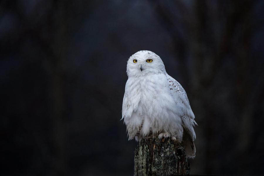 A snowy owl sits on a fencepost