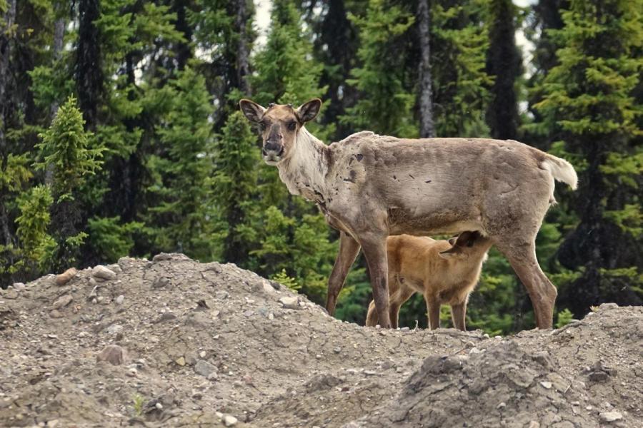 A boreal caribou cow nurses her calf in northeastern B.C.