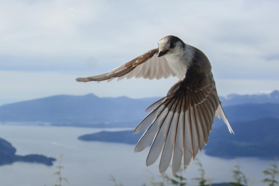 A Canada jay in flight with outstretched wings in southwestern B.C.
