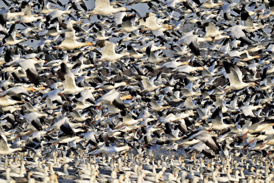 Thousands of snow geese in flight