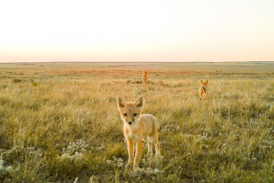One curious swift fox stares down the lens of an automatic wildlife camera near Medicine Hat, Alta. (Photo courtesy of the Nature Conservancy of Canada)