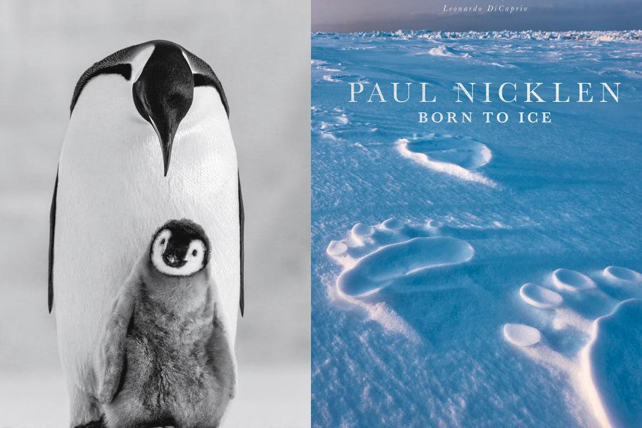Paul Nicklen's latest book, Born To Ice, is a collection of the photographer's best images from his two-decade career documenting polar scenery and megafauna, including emperor penguins in the Ross Sea, Antarctica.