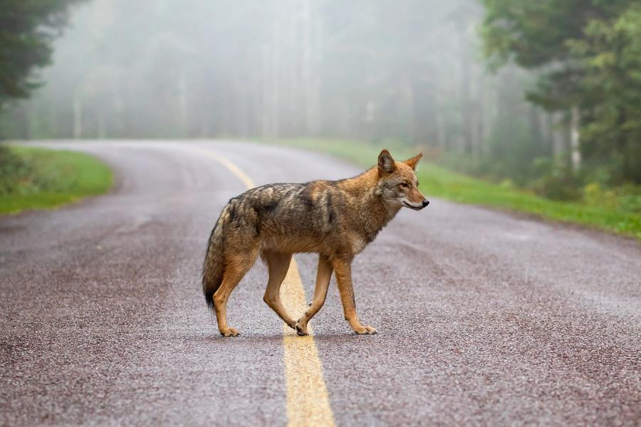 The grand prize winner of the 2018 Wildlife Photography of the Year competition, an eastern coyote crossing a road, by Brittany Crossman