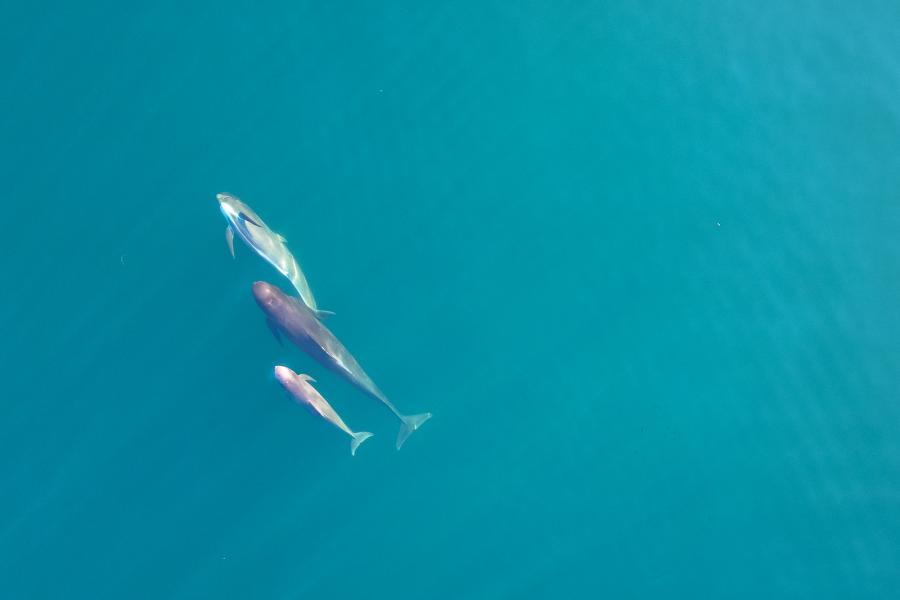 Three long-finned pilot whales swim in a cerulean blue sea