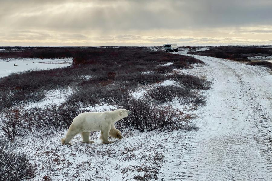 A polar bear walks on the Arctic tundra