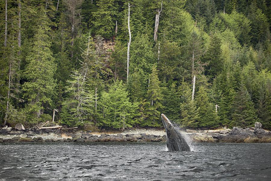 Gray whale breaching near coastline of trees