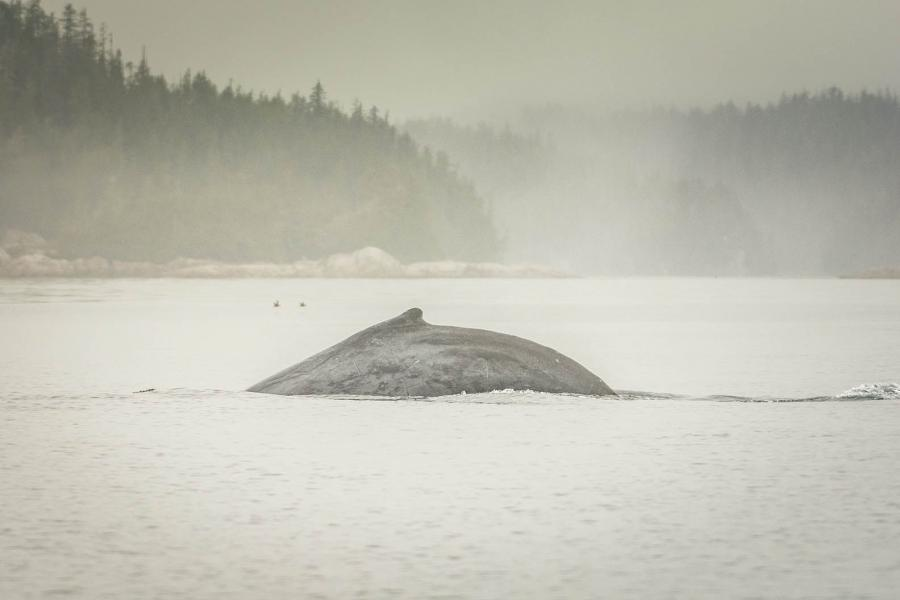 Humpback whale in the broughton archipelago, bc