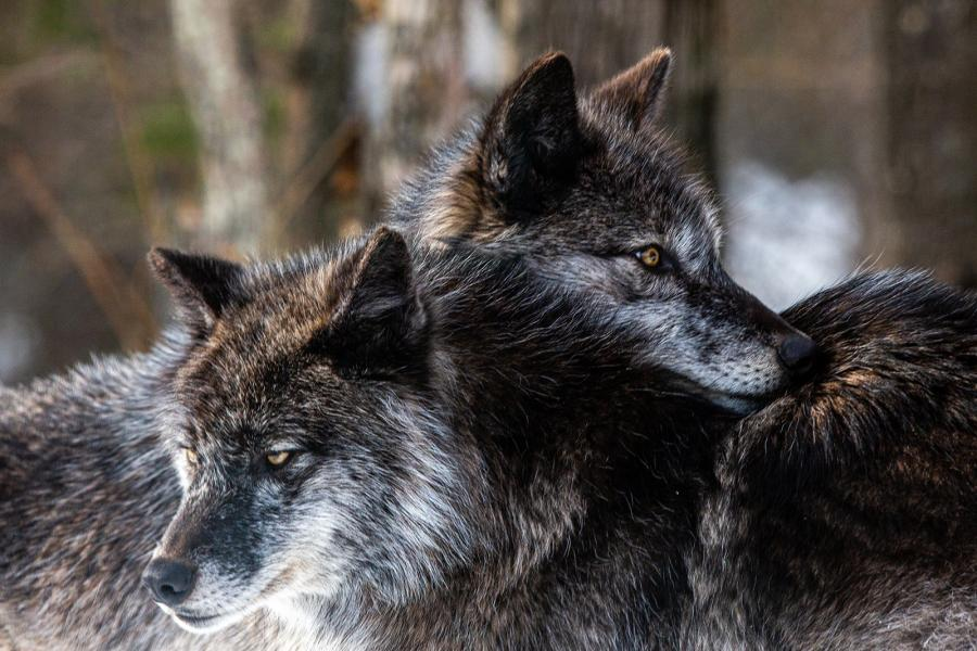 Timber wolves in captivity