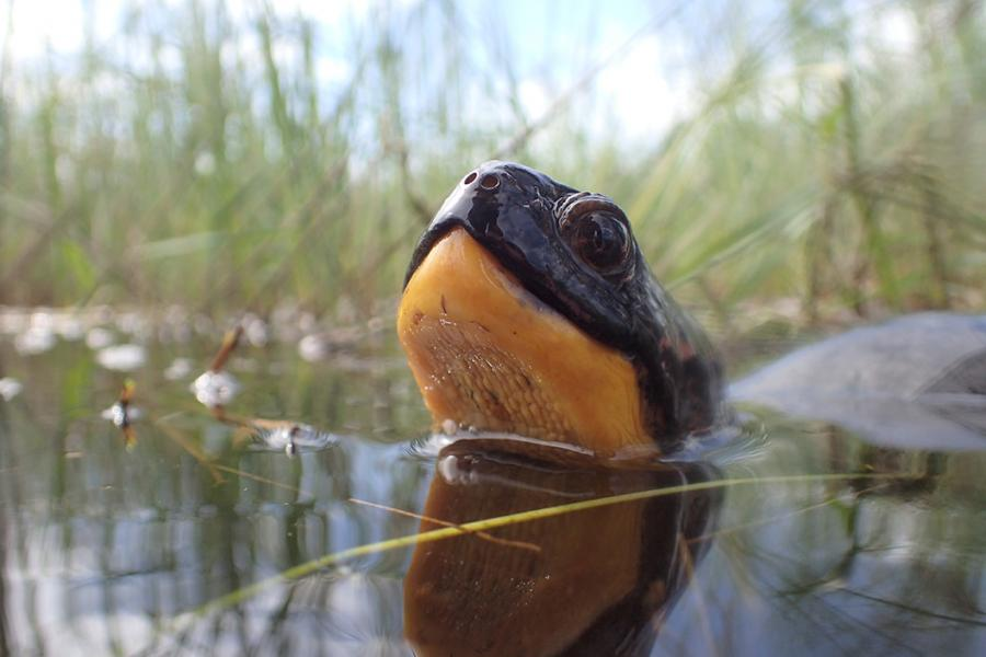 Blanding's turtle in a pond