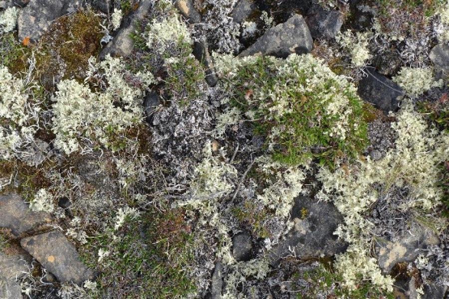 Arctic lichen