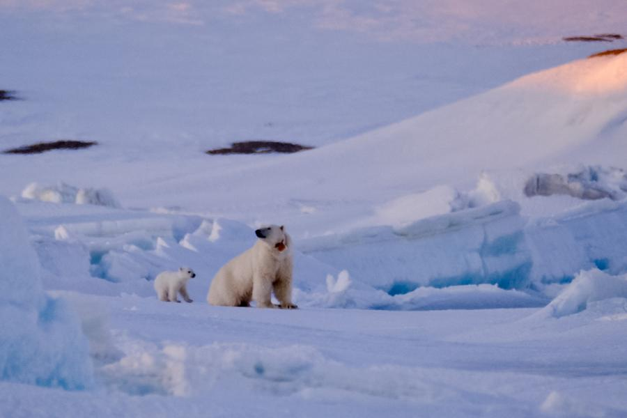polar bear mother and her young cub