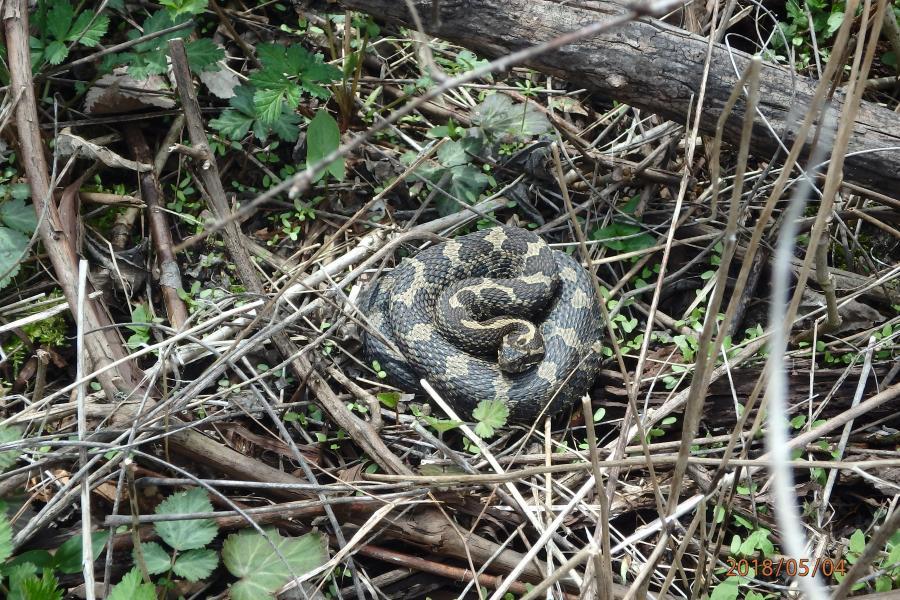 snake curled up on sticks