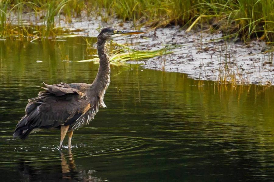 great blue heron standing in a river