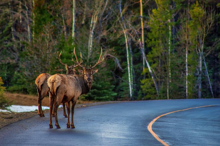 Two moose stand by the side of the road