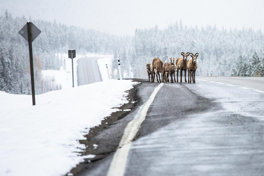 Mountain goats walk on the side of a snowy highway