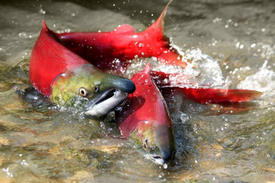 two pink salmon with green faces splash in a river