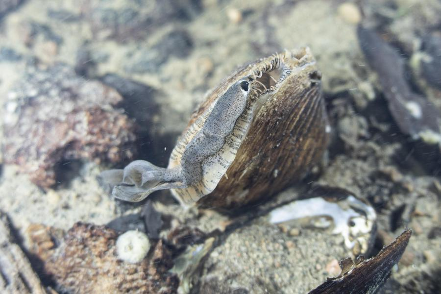 A plain pocketbook mussel and its lure