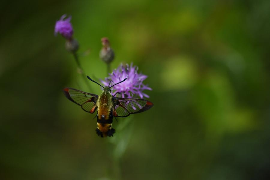 A colourful bee moth on a purple flower