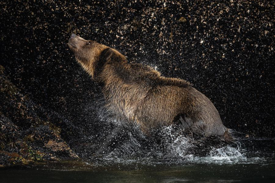 A grizzly bear shakes water from its fur in a river