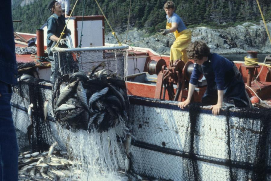 Fishermen hauling up cod in a net