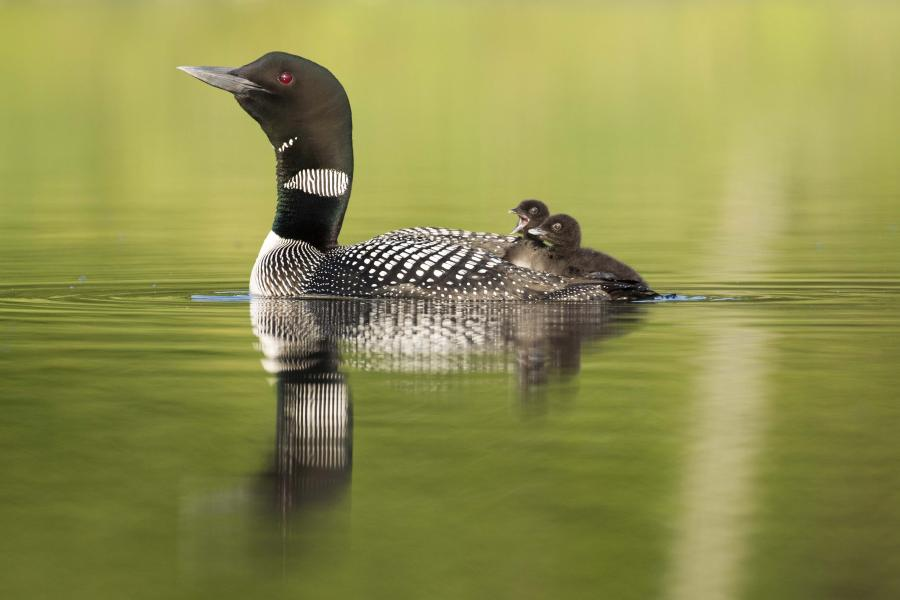 Common loon with babies