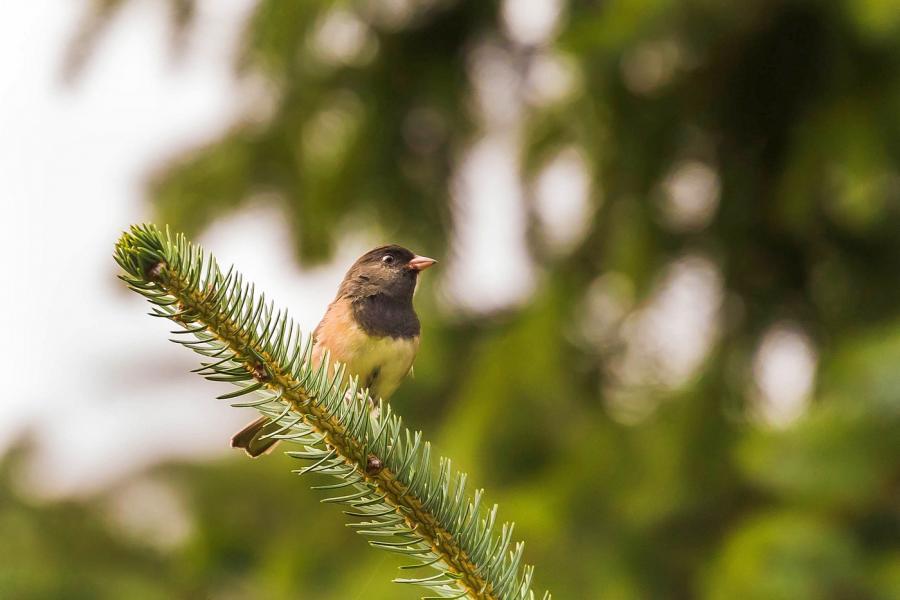 North American dark-eyed junco on a pine branch