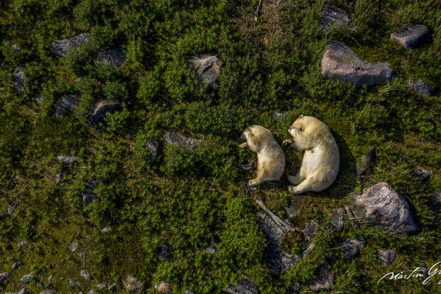 Mother and baby bear curl up like kidney beans in a mirror image of eachother in a grassy meadow