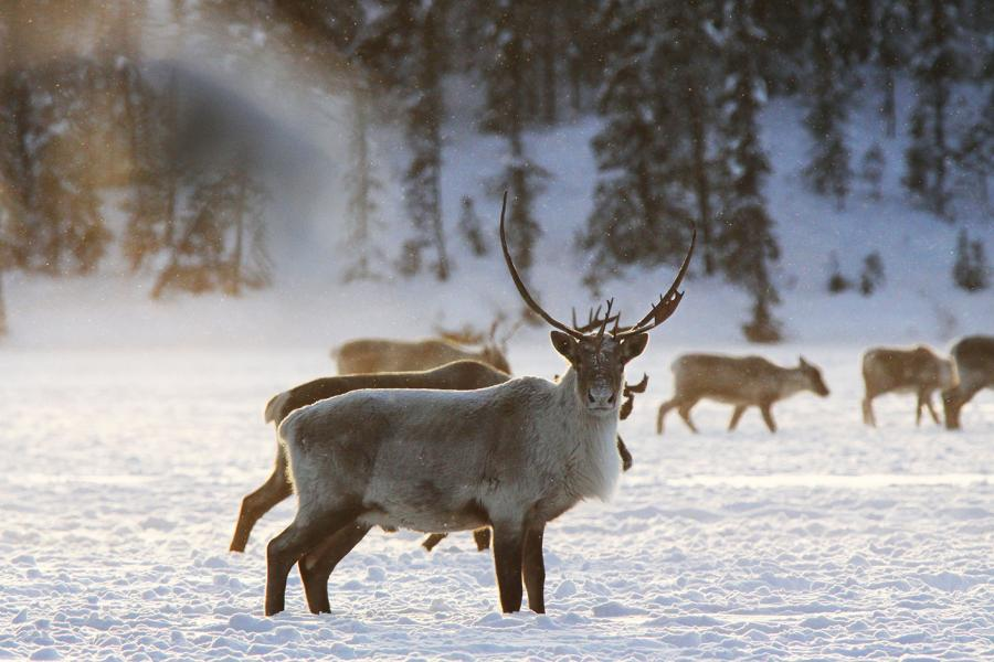 Caribou stands in the snow